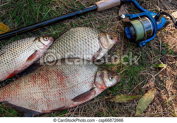 Pile of the common bream fish, crucian fish or Carassius, roach fish on the natural background. Catching freshwater fish and fishing rods with fishing reels on green grass - csp66872666