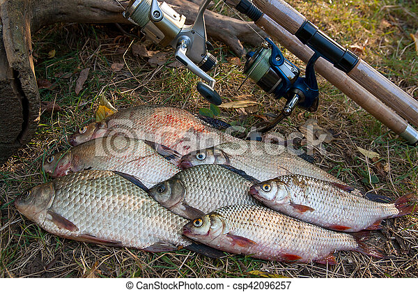 Pile of the common bream fish, crucian fish or Carassius, roach fish on the natural background. Catching freshwater fish and fishing rods with fishing reels on green grass - csp42096257
