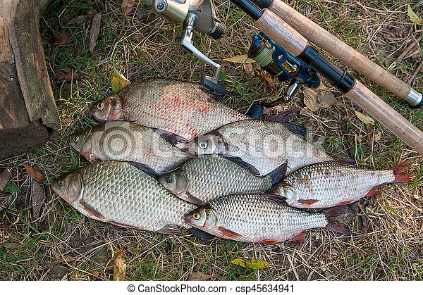 Pile of the common bream fish, crucian fish or Carassius, roach fish on the natural background. Catching freshwater fish and fishing rods with fishing reels on green grass - csp45634941