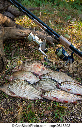 Pile of the common bream fish, crucian fish or Carassius, roach fish on the natural background. Catching freshwater fish and fishing rods with fishing reels on green grass - csp40815393