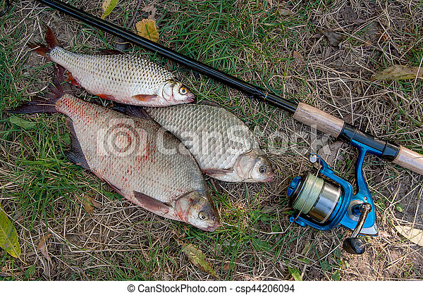 Pile of the common bream fish, crucian fish or Carassius, roach fish on the natural background. Catching freshwater fish and fishing rods with fishing reels on green grass - csp44206094