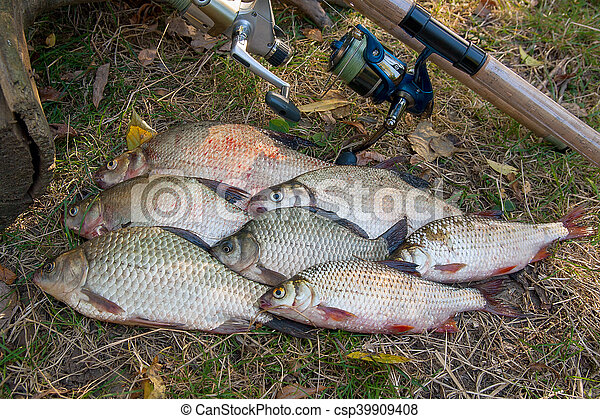 Pile of the common bream fish, crucian fish or Carassius, roach fish on the natural background. Catching freshwater fish and fishing rods with fishing reels on green grass - csp39909408