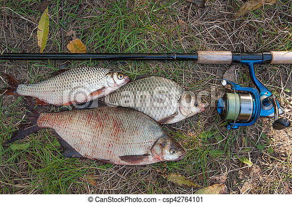 Pile of the common bream fish, crucian fish or Carassius, roach fish on the natural background. Catching freshwater fish and fishing rods with fishing reels on green grass - csp42764101