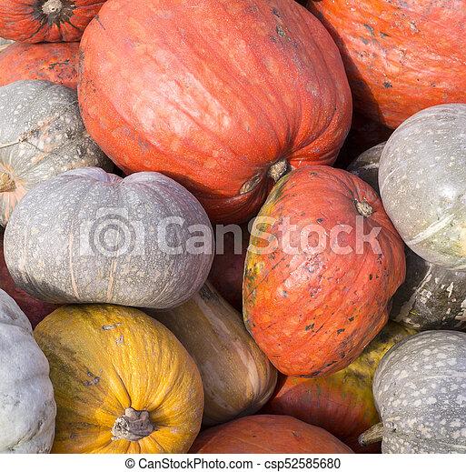pile of various pumpkins at harvest festival. background, vegetables. - csp52585680