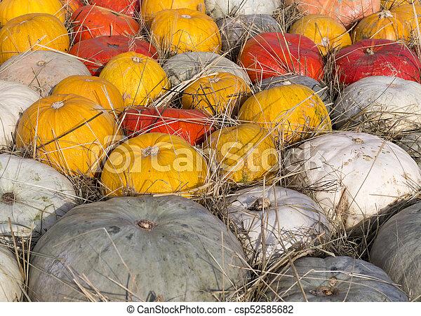 pile of various pumpkins at harvest festival. background, vegetables. - csp52585682