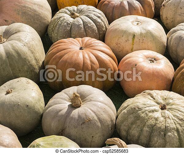 pile of various pumpkins at harvest festival. background, vegetables. - csp52585683