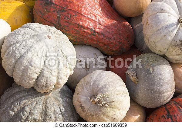 pile of various pumpkins at harvest festival. background, vegetables. - csp51609359