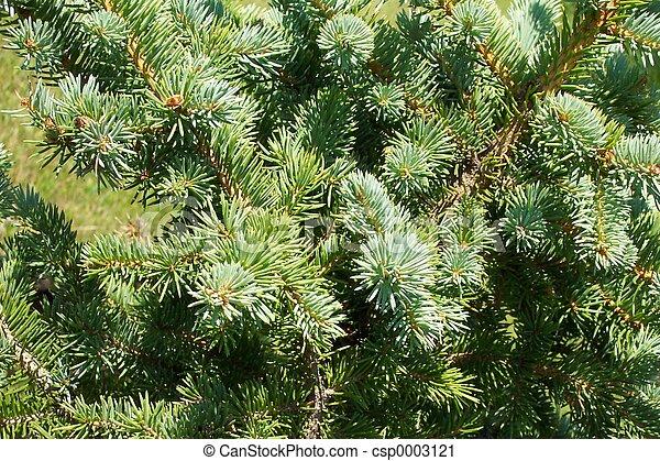 Pine bough - csp0003121