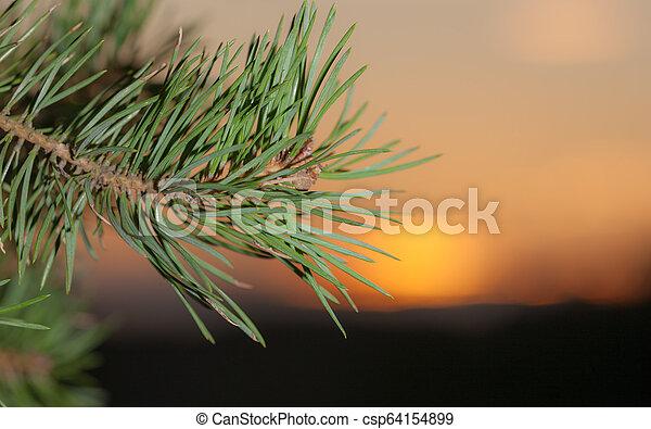 pine branch against sunset - csp64154899