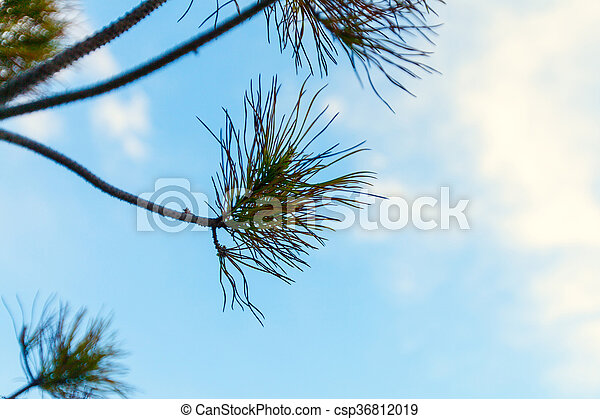 Pine Branch Against the Blue Sky - csp36812019