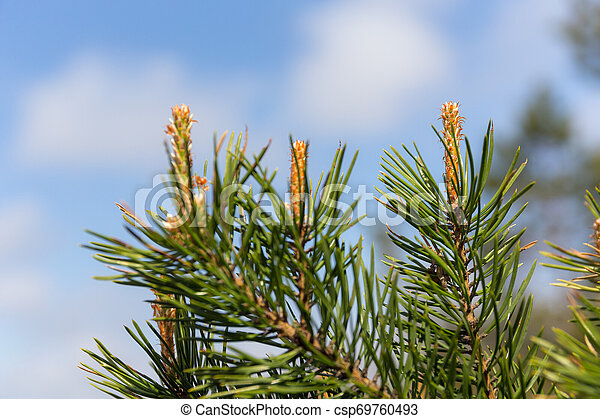 pine branch against the sky - csp69760493