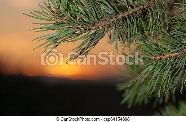 pine branch closeup - csp64154898