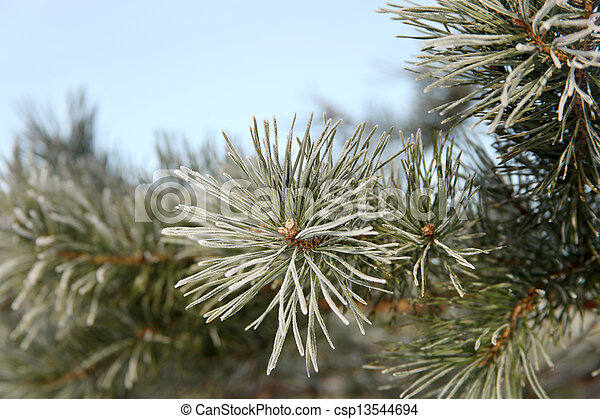 Pine branch covered with hoarfrost - csp13544694
