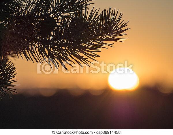 pine branch in evening - csp36914458