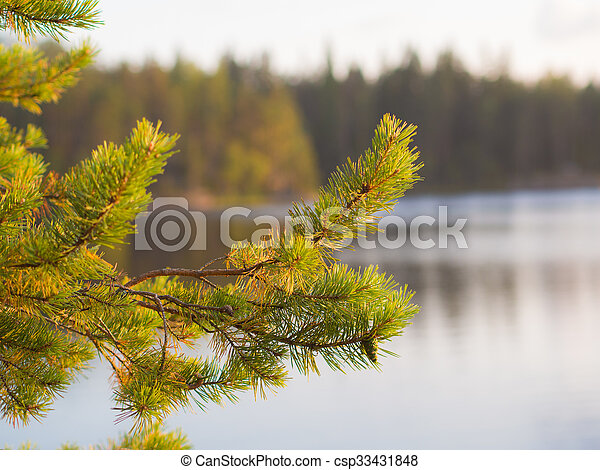 pine branch in the evening - csp33431848