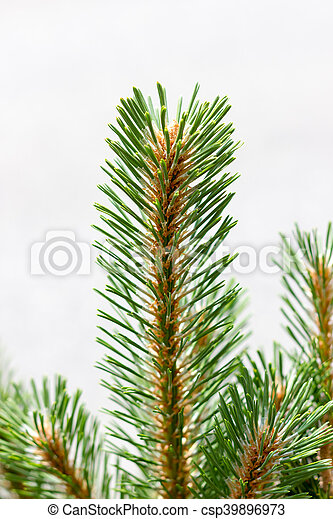 Pine branch - csp39896973