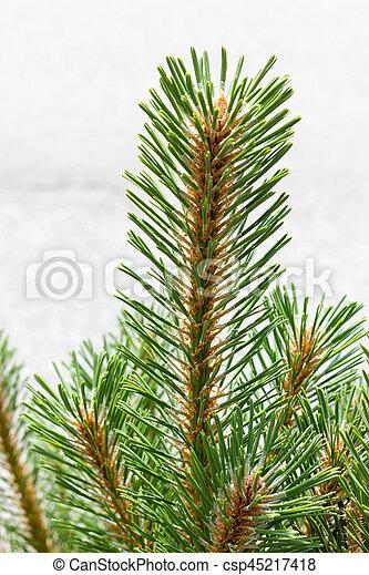 Pine branch - csp45217418