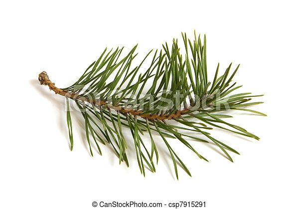 Pine branch - csp7915291
