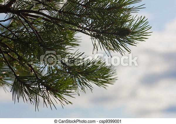 pine branch - csp9399001