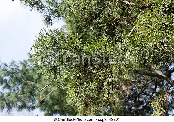 Pine branch - csp9449701