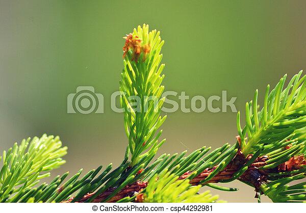 Pine branch - csp44292981