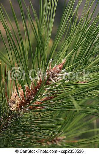 pine branch - csp2350536