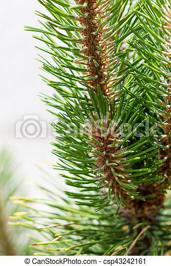 Pine branch - csp43242161