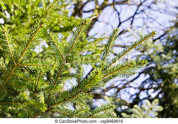 Pine branch - csp9469616
