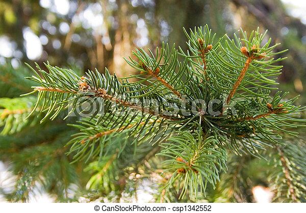 pine branch - csp1342552