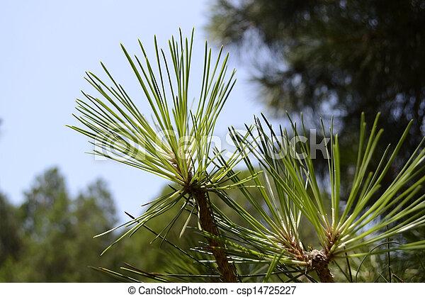 pine branch - csp14725227