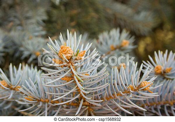 pine branch - csp1568932