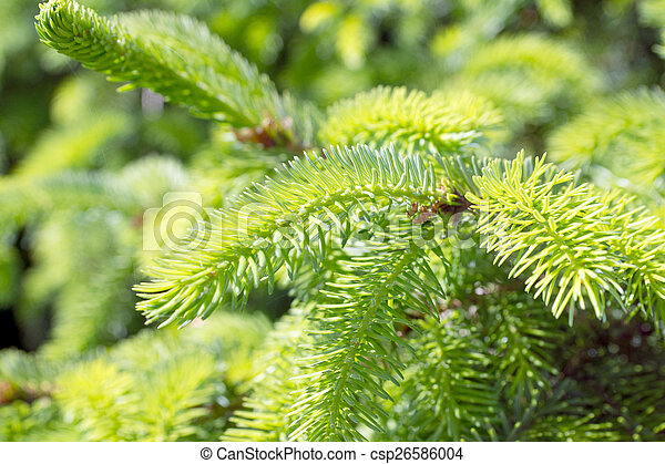 Pine branch - csp26586004