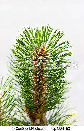 Pine branch - csp42241531