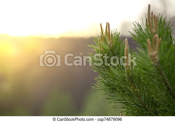 pine branch with buds at sunset - csp74879096