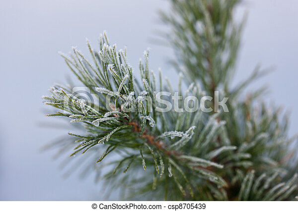 Pine branches in hoarfrost - csp8705439