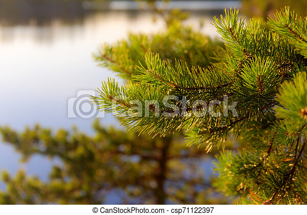 pine branches in the evening light - csp71122397
