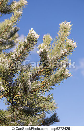 pine branches with the first snow - csp62724261