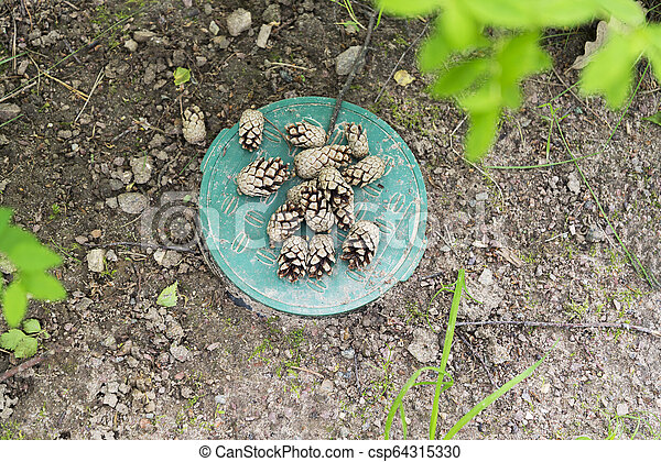 Pine cones lying on the ground in the woods - csp64315330