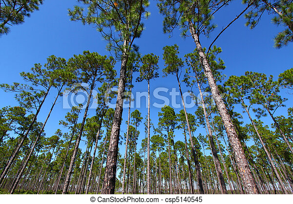 Pine Flatwoods - Florida - csp5140545