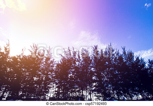 Pine Forest, Beach Pine, Pine Silhouette, Forest Silhouette - csp57192493