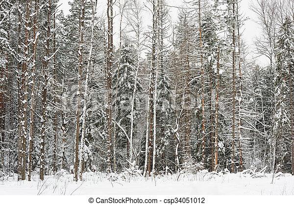 Pine forest in winter - csp34051012