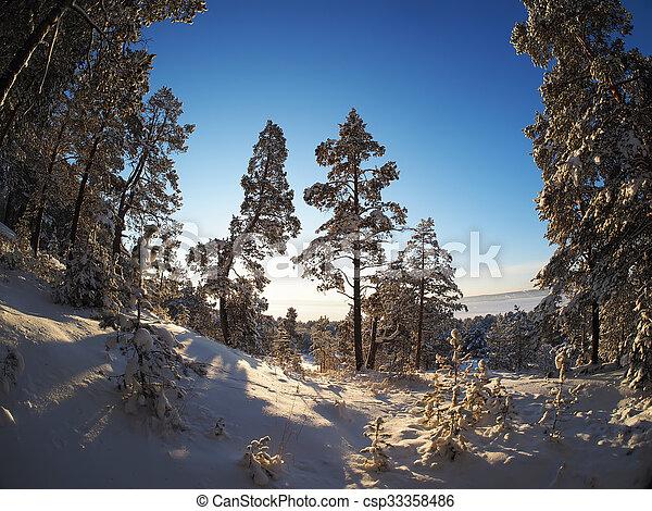 Pine forest in winter - csp33358486