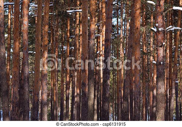 pine forest in winter - csp6131915
