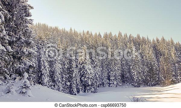 Pine forest in winter - csp66693750