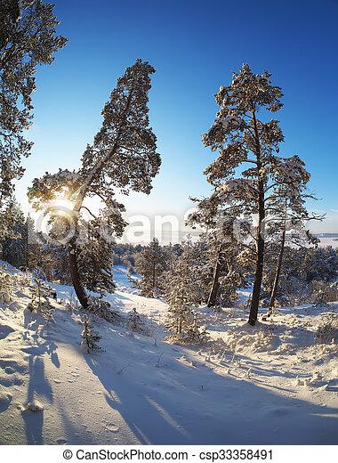 Pine forest in winter - csp33358491