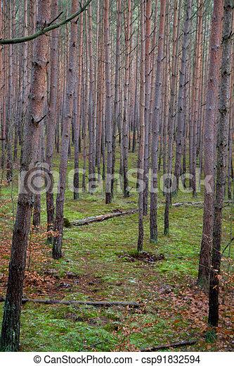 Pine forest in winter - csp91832594