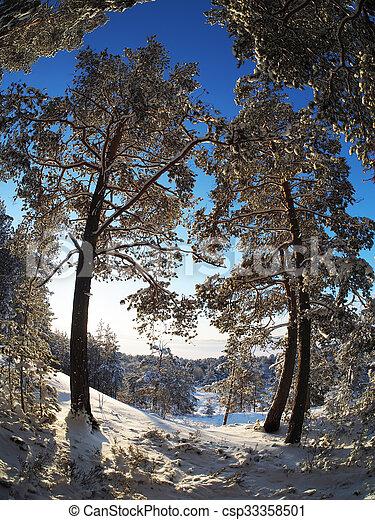 Pine forest in winter - csp33358501