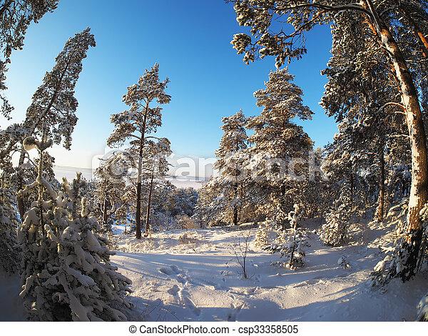 Pine forest in winter - csp33358505