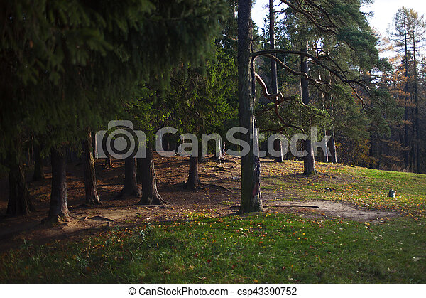 Pine forest, natural background. Evening in the forest, edge - csp43390752
