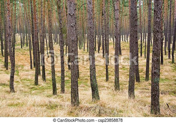 Pine forest - csp23858878